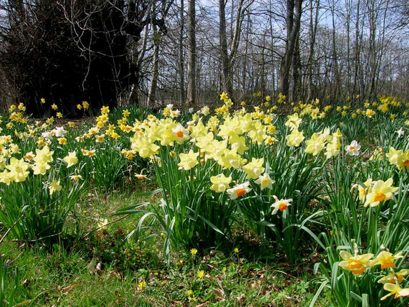 Beautiful Daffodils bloom in the Castle Gardens