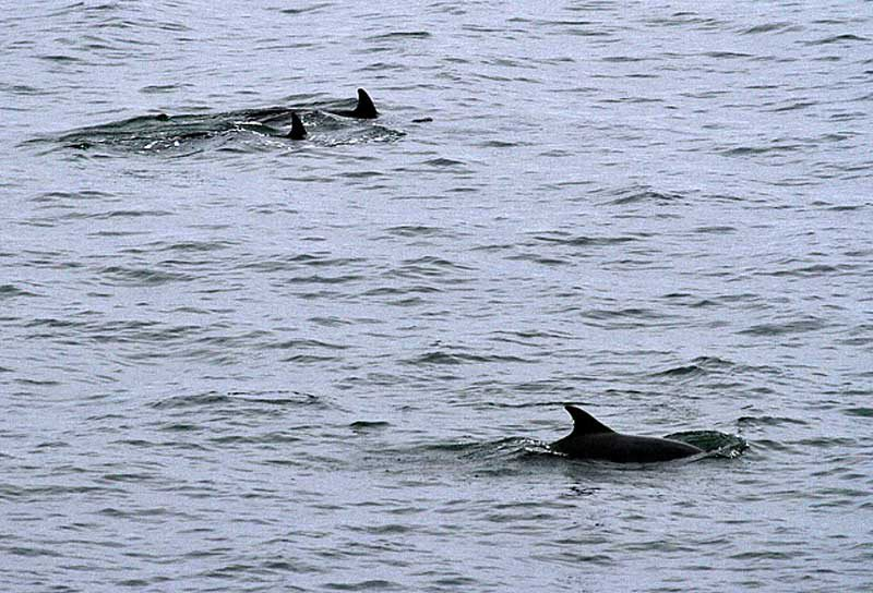 Burghead Moray Firth Dolphins
