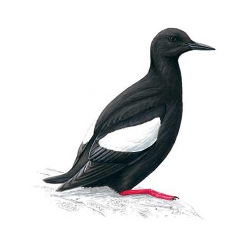Carden - Bird Watching Around Elgin Guillemot