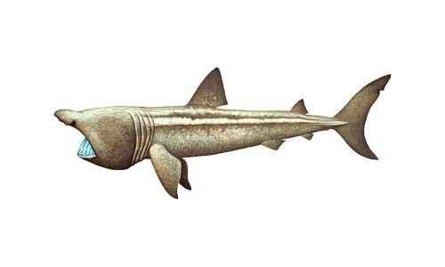 Carden - Moray Firth Aquatic Species - Basking Shark
